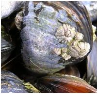 Cape Cod type of mussels and limpets
